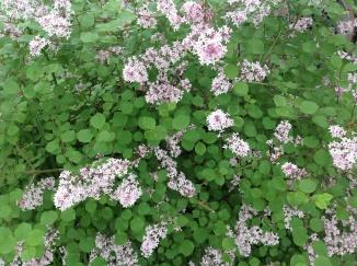 Blomstrende busk til glæde for de forbipasserende
