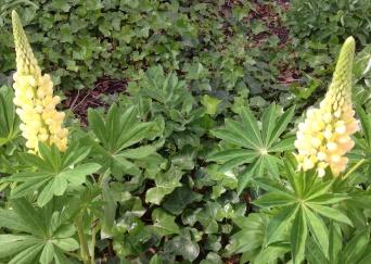 Delikate, citrongule lupiner på Tagensvej