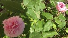 Smukke, blomstrende roser