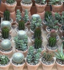 Kaktusser, selvfølgeligt, i Jægersborggade